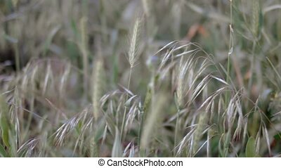 Cereal grass closeup fooage shallow DOF, selective focus
