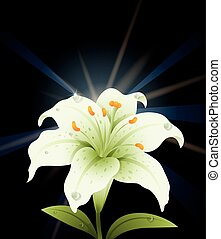 White lily with black background