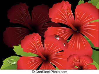 Red hibiscus flowers with black background illustration