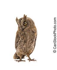 European scops owl on  white background
