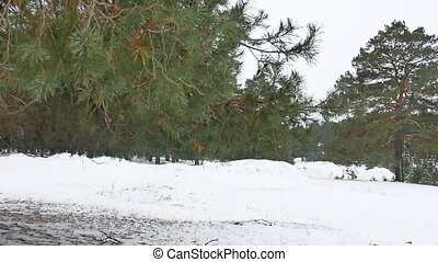 trees forest christmas tree, snow nature frost cold the...
