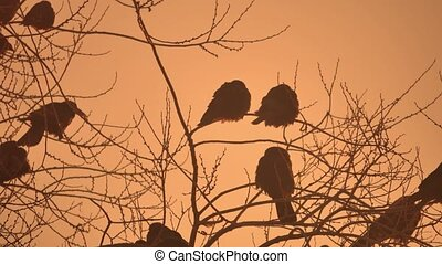 nature sunset crows flock of birds sitting on the tree...