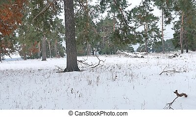 trees forest nature christmas tree, snow frost cold...