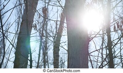 Winter forest trees nature in the snow glare of the sun, sunlight landscape