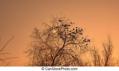sunset crows flock of birds sitting on the tree winter...