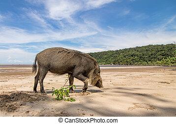 Bornean bearded pig Sus Barbatus on Beach - Bornean bearded...