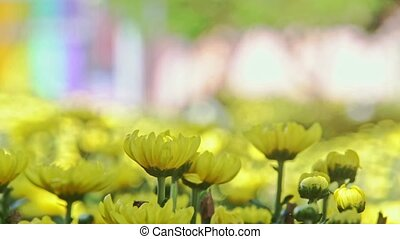 Closeup Macro Yellow Chrysanthemums at Bright Sunlight -...
