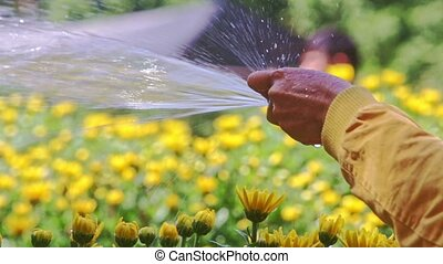 Person Hand Waters Yellow Chrysanthemum Flowers on...