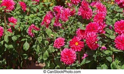 Closeup Red Chrysanthemum Flowers by Mandarin Trees -...