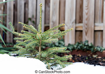 Fir tree - small young fir tree in the snow