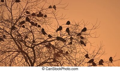 sunset crows flock of nature birds sitting on the tree...