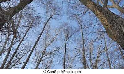 dry forest treetops trunks against a blue sky nature the...