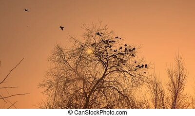 sunset crows flock of birds sitting on the tree nature...