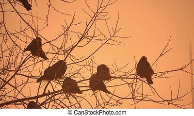 sunset nature crows flock of birds sitting on the tree cold...