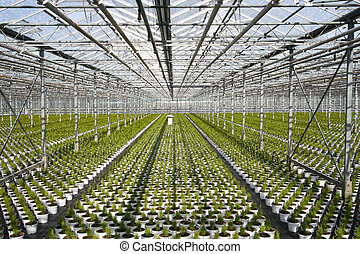 Greenhouse Conifers - Young conifers in pots in the...