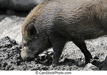 wild boar - Shot of wild boar digging in dirt