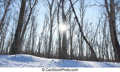 Winter forest trees in the snow glare of the sun, sunlight landscape nature