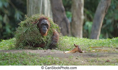Adult orangutan (Rongo) sits under a bunch of grass and tree...