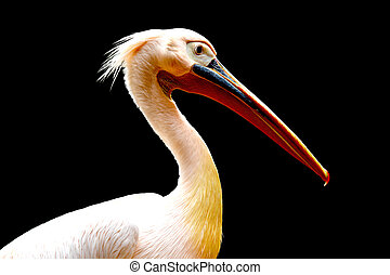 Pelican bird isolated on black background