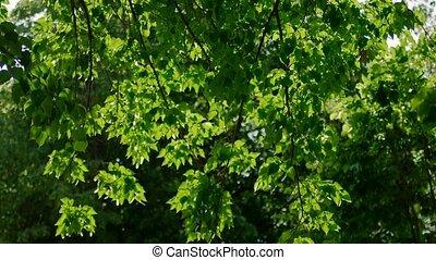 Tree leaves fluttering in the wind backlit shot.