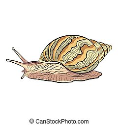 vector illustration of a hand drawn garden snail. EPS