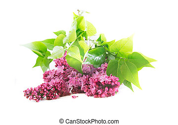 lilac flowers isolated over white