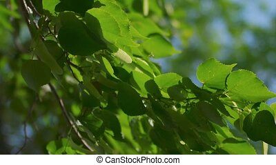 Tree branch with leaves fluttering in the wind backlit,...