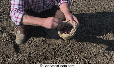 Farmer smiling planting vegetable onion bulbs organic food -...