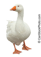Domestic Goose Isolated - White domestic goose isolated on a...
