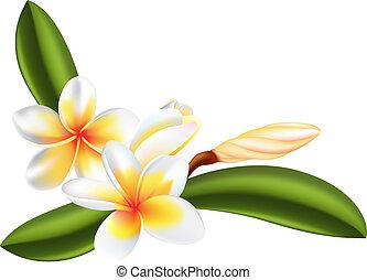 frangipanier, ou, plumeria, fleur
