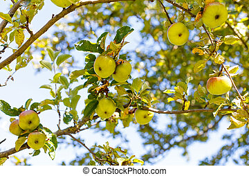 Apple tree - Picture of an apple tree on a sunny day