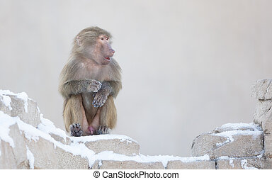 Macaque monkey resting in it's natural habitat