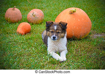 Fluffy puppy with pumpkin on a grass