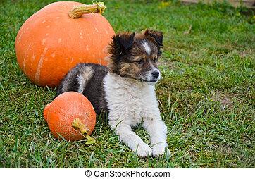Fluffy puppy with pumpkin on a grass