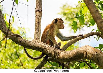 Sri-Lankan toque macaque - Photograph of Sri-Lankan toque...