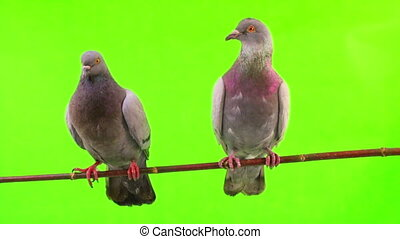 dove  is isolated on the green screen