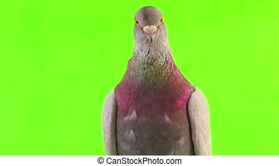 dove isolated on the green screen
