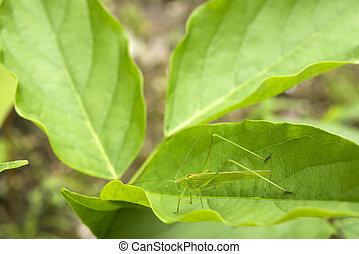 Katydid(Phaneroptera falcata) resting on green leaf in...
