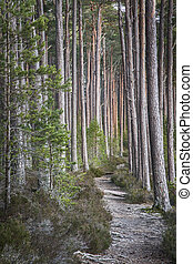 Abernethy Forest in the Cairngorms National Park. - Track...