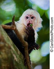 The Capuchin The Capuchin eats green sheet, sitting on a...