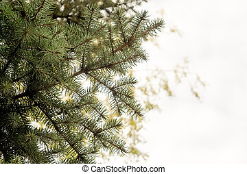 Spruce Tree Branches - Close up photo of spruce tree...