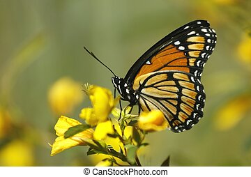Viceroy Butterfly feeding from a plant.