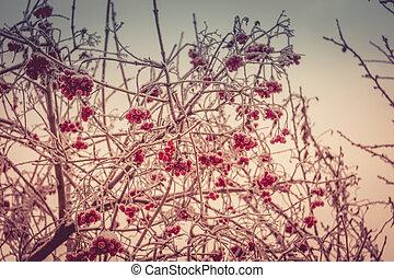 Winter Mountain Ash - Red rowan, mountain ash berries...