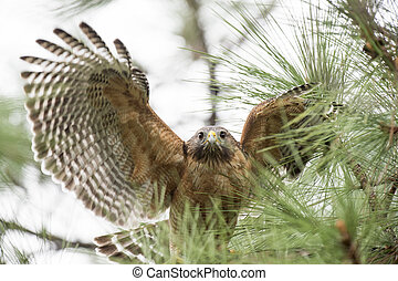 Flapping Red-shouldered Hawk - A Red-shouldered Hawk flaps...