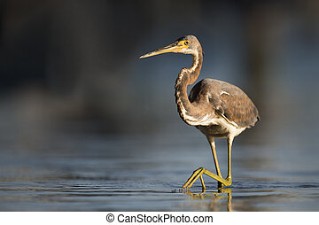 Tri-colored Heron Stalk - A Tri-colored Heron stalks the...