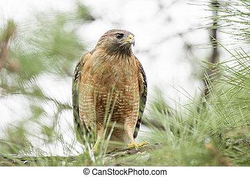Staring Red-shouldered Hawk - Red-shouldered Hawk staring...