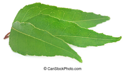 Curry Leaves over white background