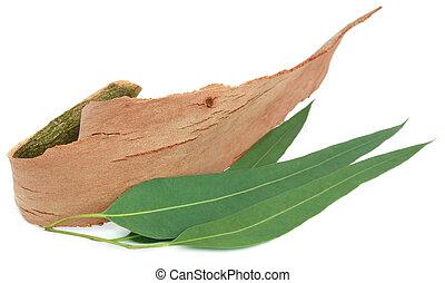 eucalipto, folhas, ladrar