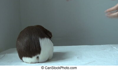 Guinea pig turned face forward. Spotted a funny animal....
