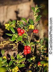 Lingonberries (Vaccinium vitis-idaea) in the summer forest,...